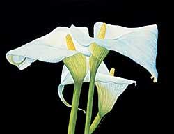 #1303 ~ Zivot - Untitled - White Lily Family